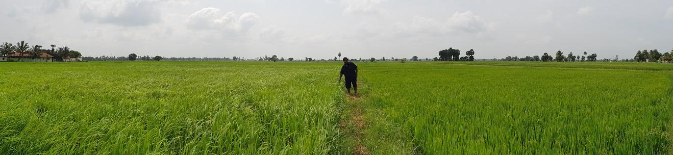 roshan perera-traditional sri lankan rice-suwandel-suwandal-kuruluthuda-pachchpaperumal-kaluheenati-akshata-farmers-srilankanrice (4)